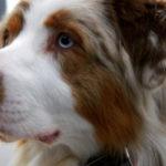 脳のスキャンおよびAIシステムにより、犬が人間の感情をもっとも認識している動物であることが判明